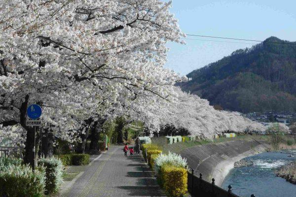 依田川桜堤防の桜