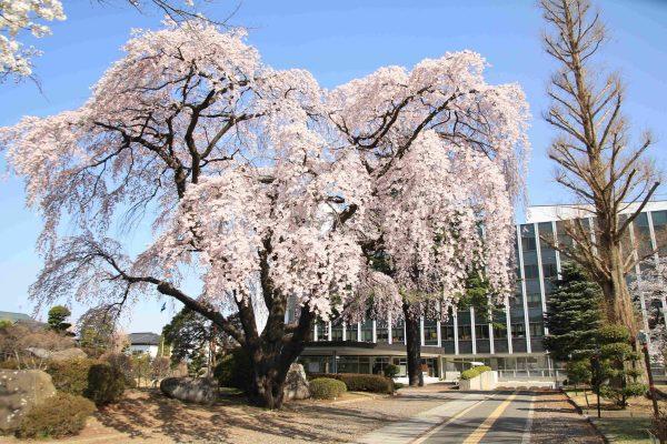 塩尻市役所(しだれ桜)