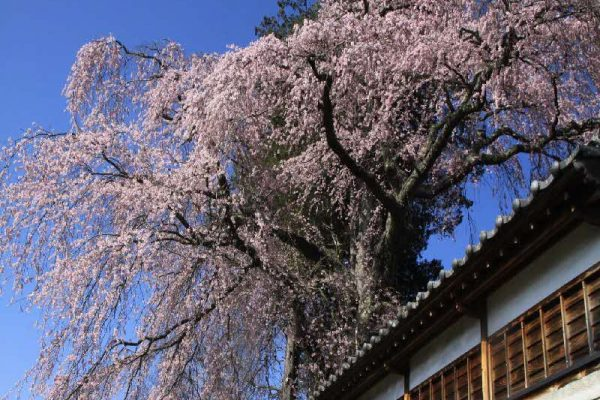 栖林寺の枝垂桜