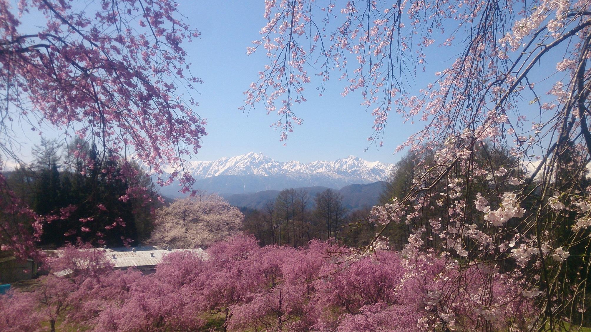 小川村桜ウィーク