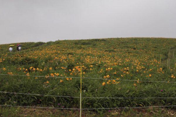 小和田牧野農業協同組合のニッコウキスゲ