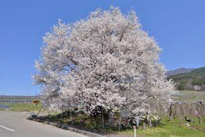 宇木の古代桜まつり
