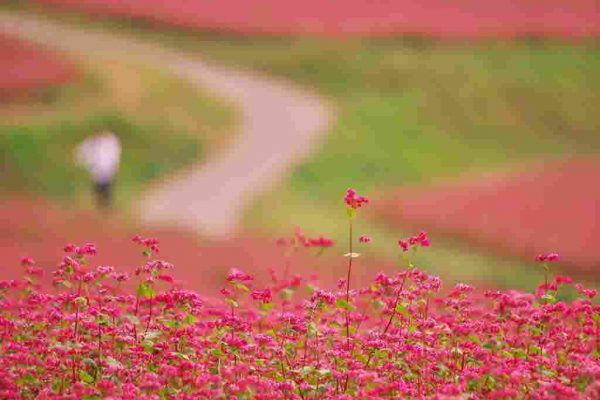 赤そば花まつり