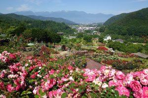 高遠「しんわの丘ローズガーデン」バラ祭り